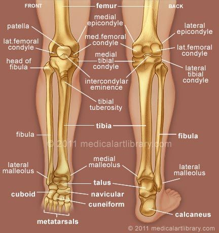 Large color medical Illustration shows the bones of the leg and foot, and the boney prominences for attachment of the major ligaments of the knee joint.