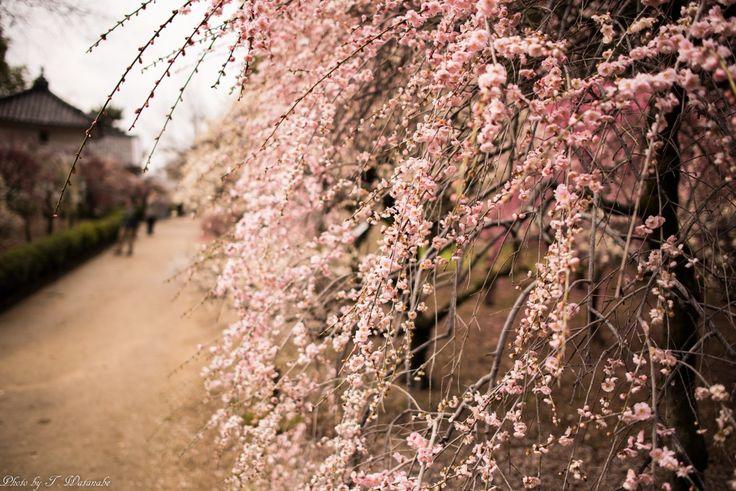Fujiidera-shi, Ōsaka-fu, Japanで撮影された写真 ほのかに香る道 : パシャデリック