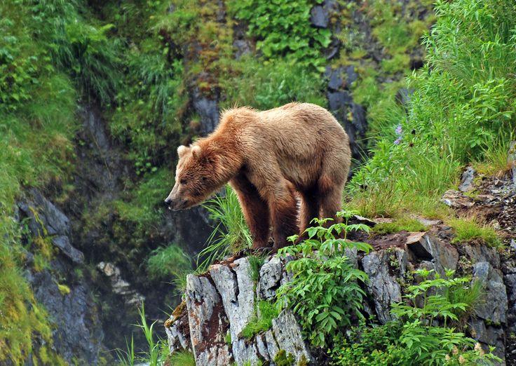Orso grizzly http://www.sapere.it/sapere/deasapere/programmitv/i-grandi-film-della-natura/1/grizzly/domande-risposte/grizzly-puo-attaccare-uomo.html