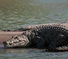 Wildlife at Serra Cafema | Wilderness Safaris Nile crocodile are commong along the banks of the Kunene river
