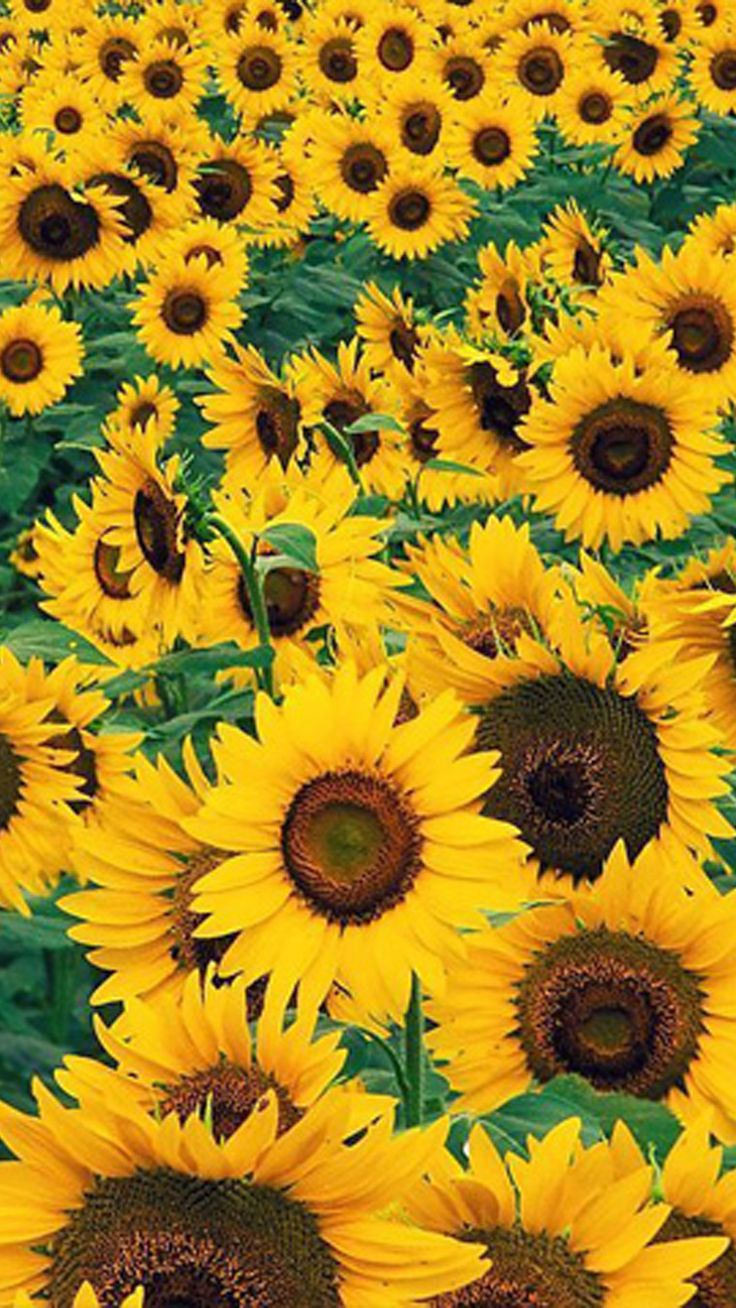 Best 25+ Sunflower wallpaper ideas on Pinterest | Sunflower fields, Sunset wallpaper and ...