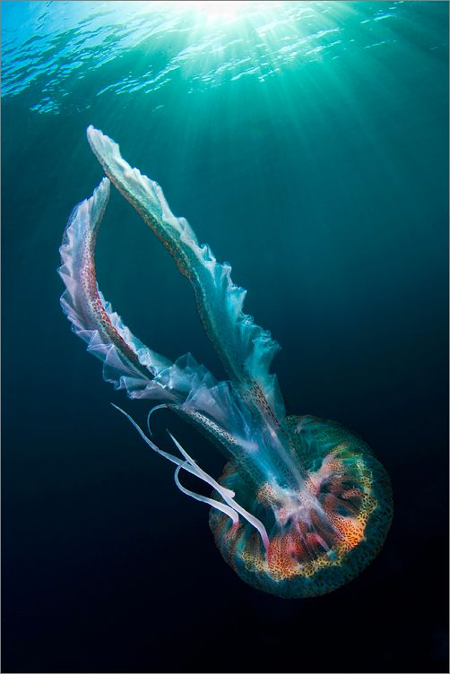 mediterranean jellyfish | marine animal + underwater photograph