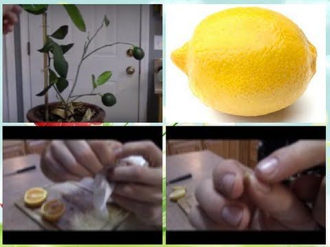 Grow Lemon Trees From Seeds Works Every Time
