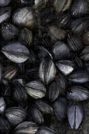#black #mussels