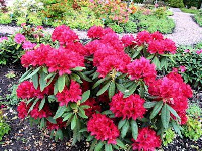 rhododendron Nova Zembla - planted one of these today!