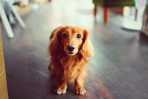 long haired dachshund..... I want for the simple fact that it would be my dogs mini me!!!