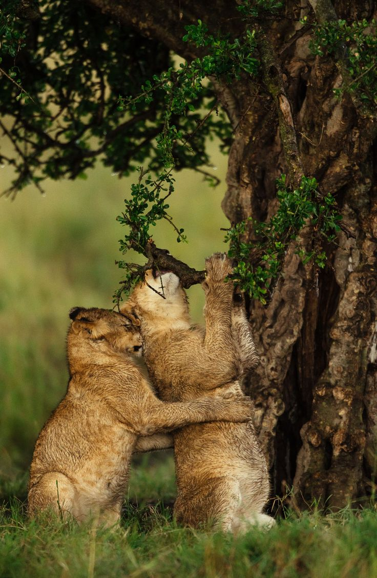 """Lion cubs (Panthera leo) enjoying the fresh air after a storm in the Masai Mara National Reserve Kenya"" writes photographer Chris Schmid."
