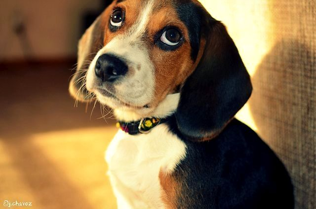 2 25 19 Beagle Meaning Intelligence Attentiveness Devotion