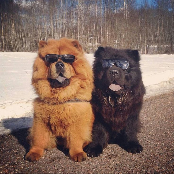 Best Chow Chows Images On Pinterest Chow Chow Chow Chow - This instagram chow chow looks like a fluffy potato and its so cute it doesnt even look real