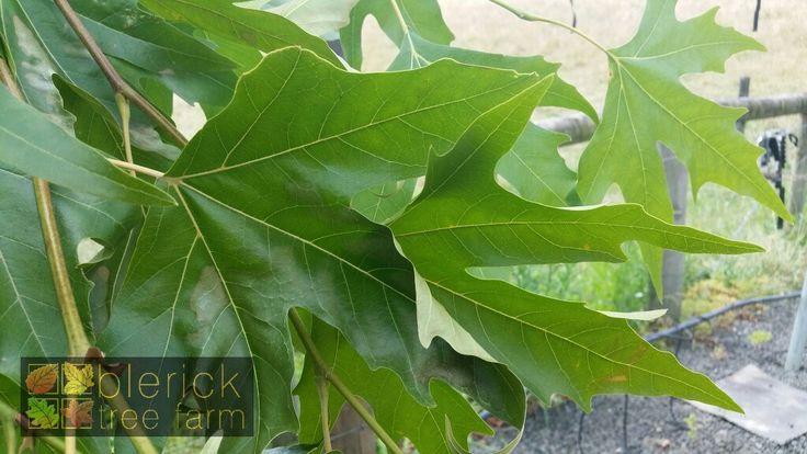 Patanus orientalis digitata – Oriental Plane – Purchase Bare Rooted Trees Online