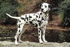Image result for dalmatian