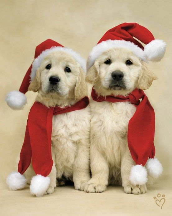 Santa puppies- Lady-Gray-Dreams. Love this idea for my puppies annual Christmas pics