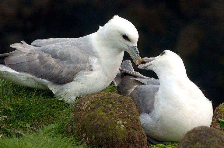 Eissturmvogel. Der Eissturmvogel ist zum einen Aasfresser und ernährt sich zudem von Fischen, Schnecken, Krebsen und sonstigen Bewohnern des Meeres, die er von der Wasseroberfläche aus erpicken und sogar ertauchen kann. Eissturmvögel erreichen eine Größe von 43 bis 52 cm. Ihr Gewicht beträgt ca. 700 bis 900 Gramm. Der Eissturmvogel ist im Norden des Atlantiks und des Pazifiks weit verbreitet.