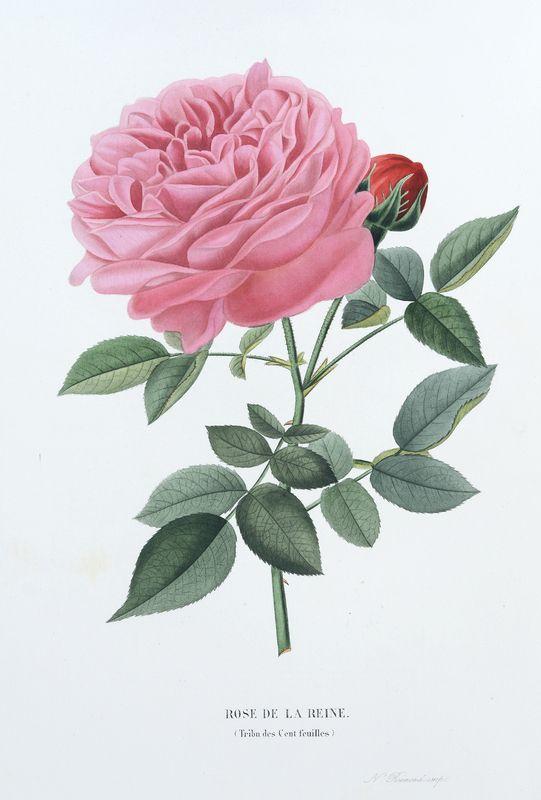 SNHF | Rose de la Reine