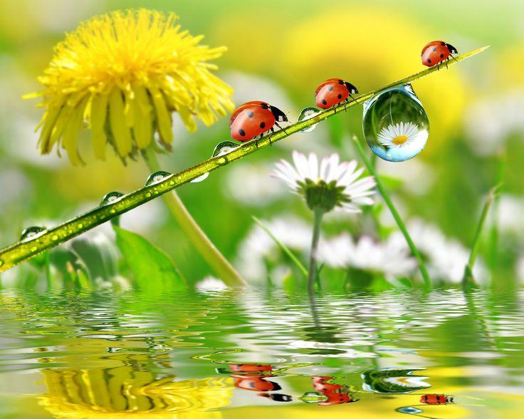 Скачать обои капли, цветы, роса, отражение, одуванчик, ромашки, божьи коровки, раздел цветы в разрешении 4976x3980