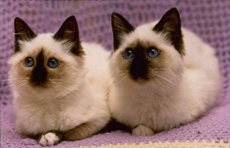 Gattini siamesi