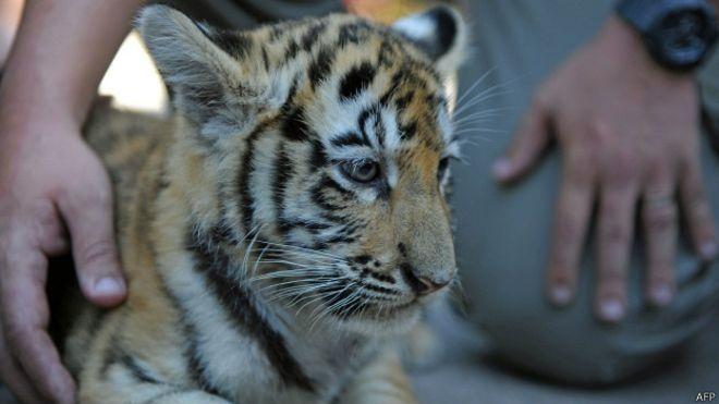 Guatemala: presentan tres crías de tigre de Bengala en el principal zoológico del país http://bbc.in/10NRxUR
