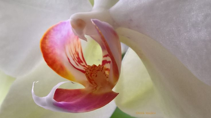 °*° orchid °*° - null