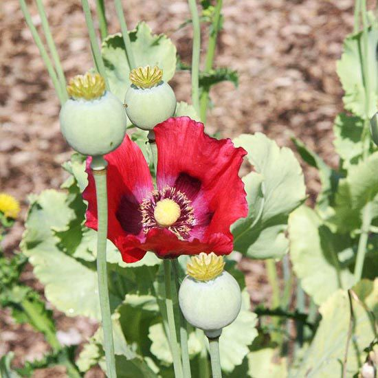 Papaver somniferum This poppy is a gorgeous annual that is easy to grow. The seeds are used on breads, and it is the source of opium and related medicines. The seed heads are great for indoor arrangements as well./