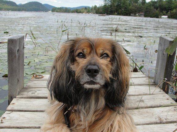 dauchsund cockerspaniel Mix Breed Dog Photos All Mutt