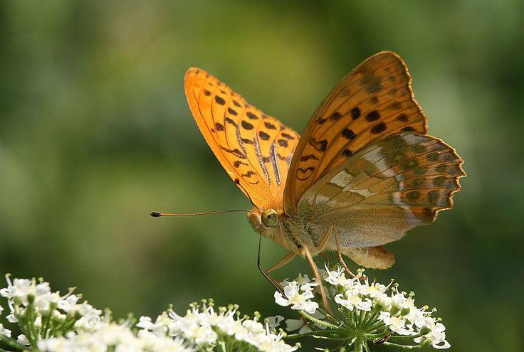 Kejserkåbe (Argynnis paphia) Kendetegn: Vingefang: 54-70 mm. Vores største perlemorsommerfugl. Hunnerne er gennemgående størst. Hannen er orangerød med tydelige duftskælstriber i forvingen. Hunnen mere brunlig med pletter i forvingen. Undersiden med 3-4 mere eller mindre tydelige perlemorsstriber. Levested: Arten flyver i løvskove med lysninger. Kreatur- eller hjortehold i skoven begunstiger arten ved, at det nederste løv bliver bortædt, og der kommer mere lys og varme til violer og larver.