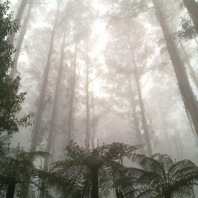 Какие лиственные деревья являются самыми высокими? эвкалипт.
