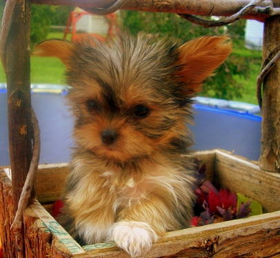 yorkie tzus 17 best ideas about yorkie shih tzu mix on pinterest 739