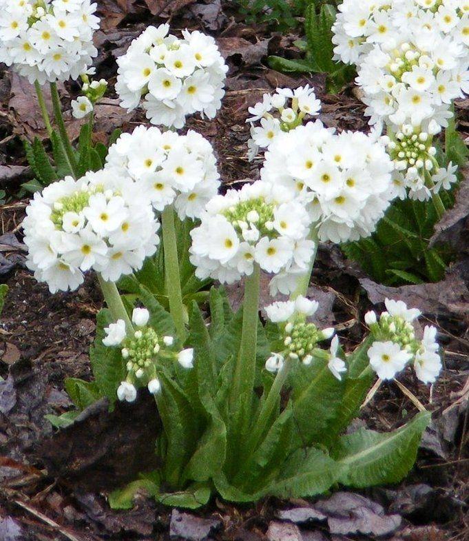 Primula denticulata (примула мелкозубчатая) 'Alba' | Зеленый город