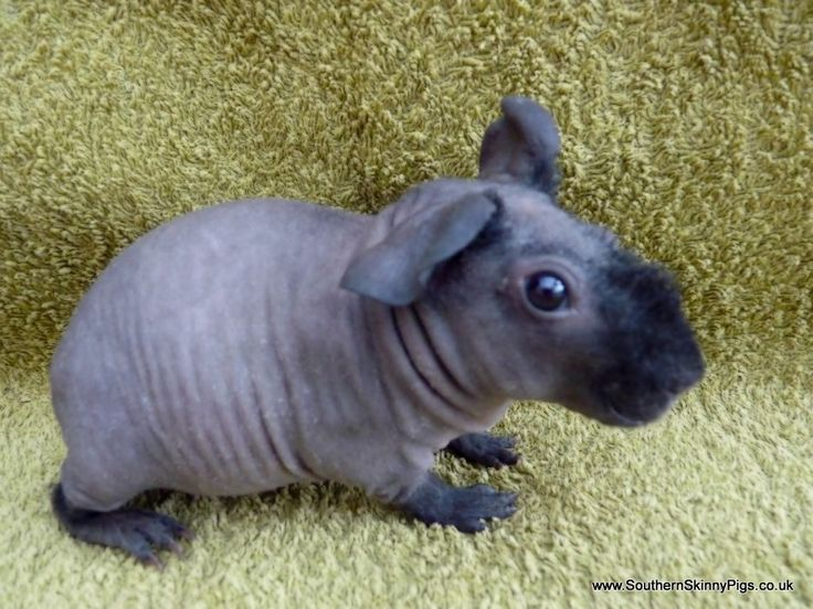 skinny pigs - Google Search