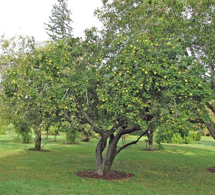 Small Ornamental Trees Oregon: 371 Best Images About GARDEN: Trees On Pinterest