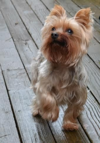 Meet Lucky, an adoptable Yorkshire Terrier Yorkie looking for a forever home. If you're looking for a new pet to adopt or want information on how to get involved with adoptable pets, Petfinder.com is a great resource.