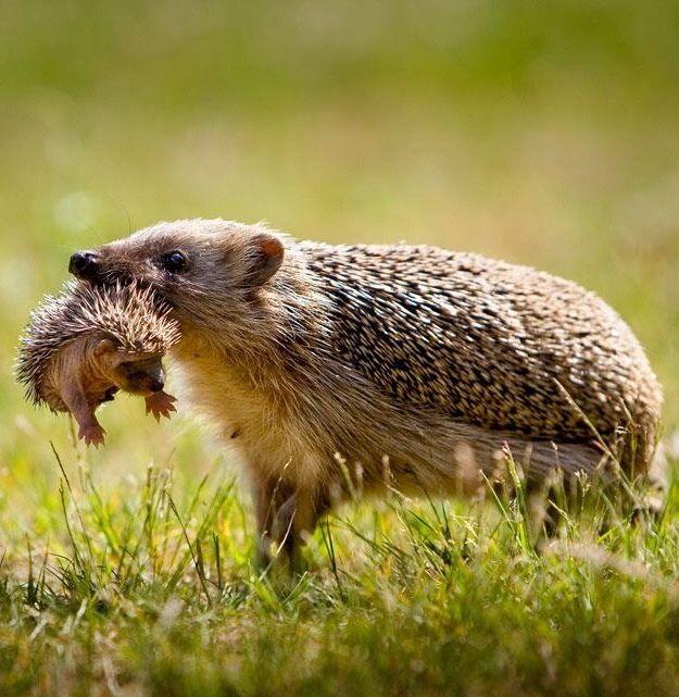 Igel – Ich wusste nicht, dass Igel ihre Stacheln flach legen könnten! – ES SIEHT SO AUS …  – Hedgehog