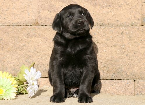 Labrador Retriever puppy for sale in MOUNT JOY, PA. ADN-53262 on PuppyFinder.com Gender: Male. Age: 6 Weeks Old