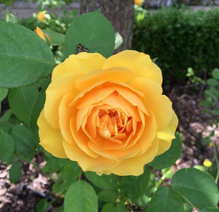 Yellow has been closely associated with the sun, making these roses excellent for cheering people up.