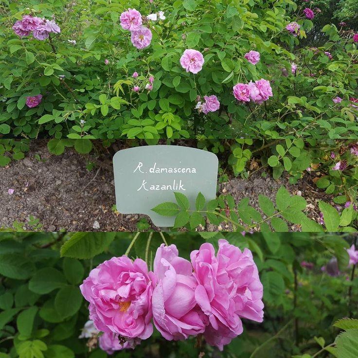Igår var vi i rosenträdgården i Ytterjärna och titta på alla vackra rosor. Tyvärr har de flesta börjat blomma över men väldigt intressant både för näsan och ögat. Här är en av dem; R. Damascena Kazanlik.