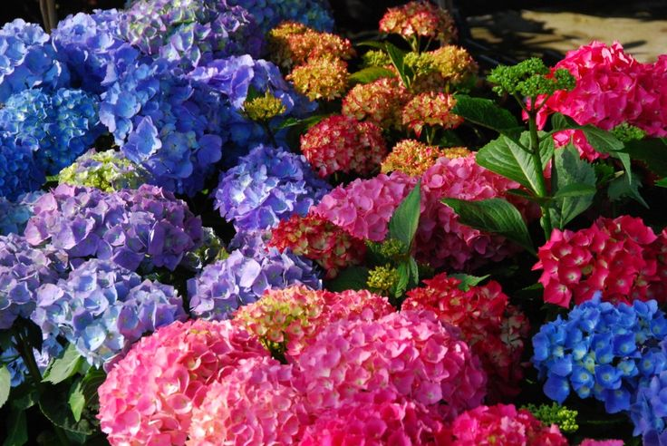 Znalezione obrazy dla zapytania hortensje rodzaje odmiany kolory różowe niebieskie