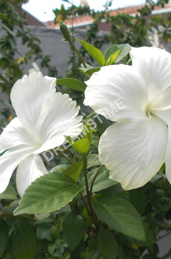 White hibiscus flower on the tree
