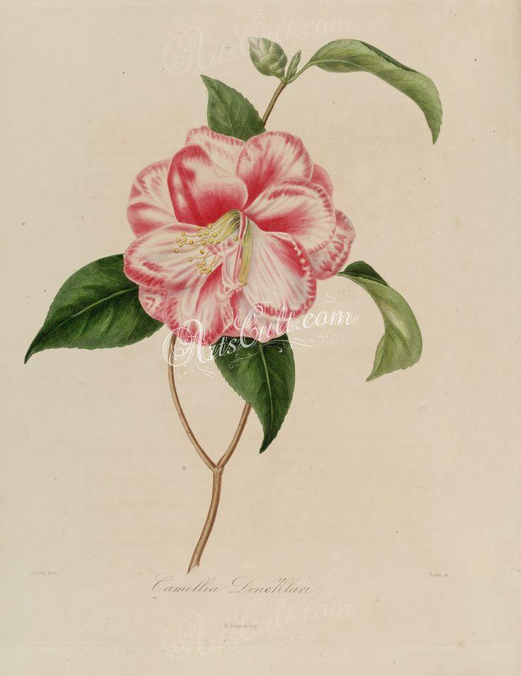 camellia doni klari      ...
