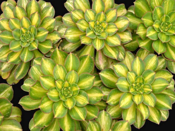 Aeonium Starburst Succulent
