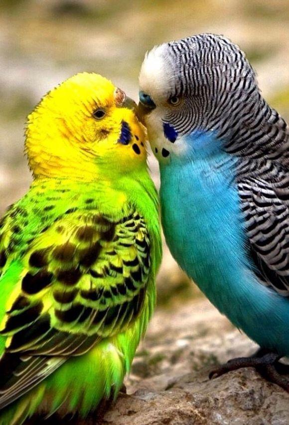 Kissing Budges Birds Pretty Birds Beautiful Birds