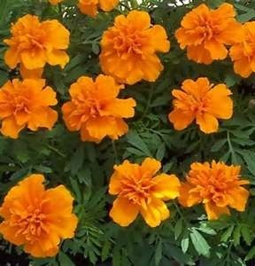 Marigold in Mums & Marigolds