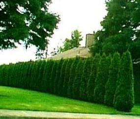 Thuja 'Emerald Green' Arborvitae ~ 30 trees~ -4 inch pot. Most popular privacy tree. | lbbestshop.com