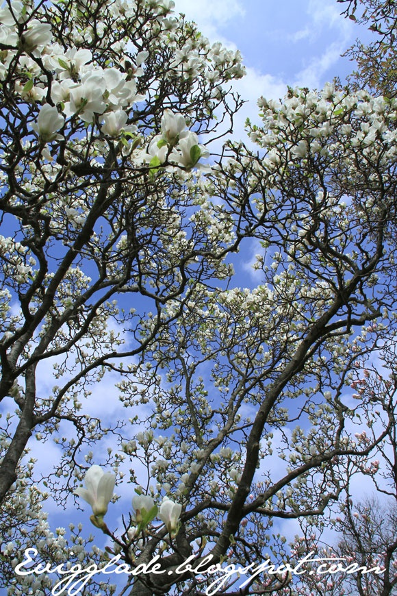 Magnolias in Landbohøjskolens have Frederiksberg, Copenhagen. Welcome at my blog: Evigglade.blogspot.com