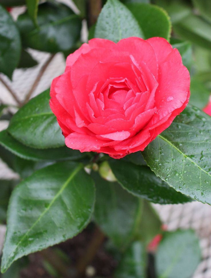 17 best images about the winter garden on pinterest the for Camelia rossa