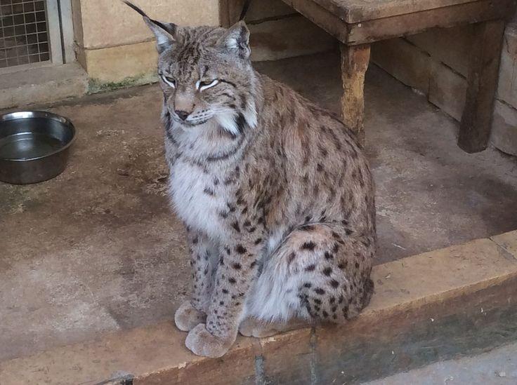 Asian Lynx at Monte Kristo Estates in Hal Farrug, Luqa, Malta - Eurasian lynx - Wikipedia