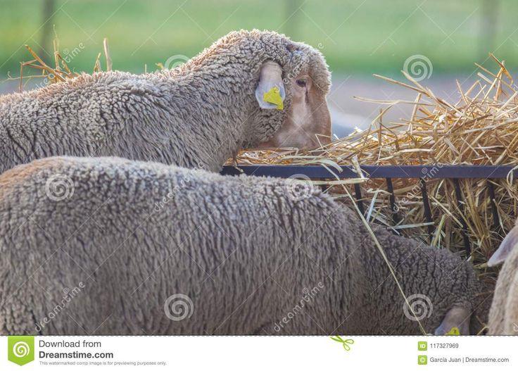 Merino pure breed sheeps eating fodder, Extremadura, Spain. Closeup at sunset