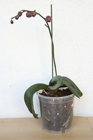 Trigger Orchid Reblooming with these Orchid Care Tips