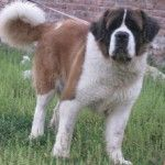 saint-bernard-dog-price-199