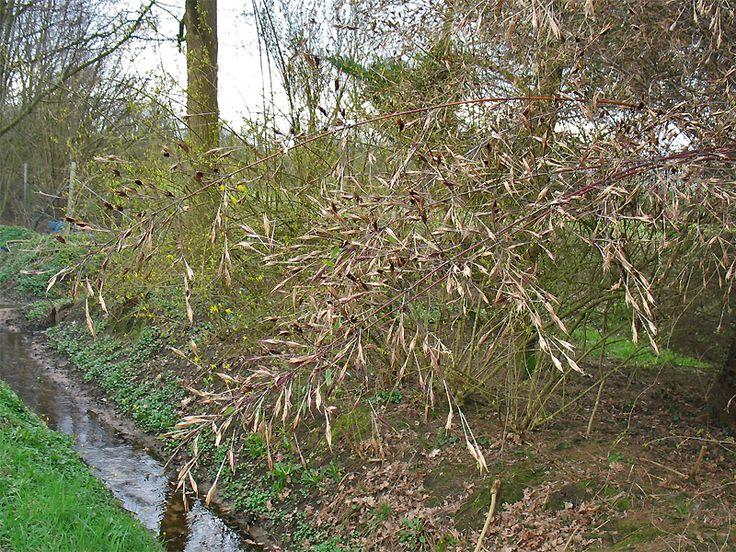 Sinarundinaria nitida.Синарундинария блестящая (Фаргезия блестящая)
