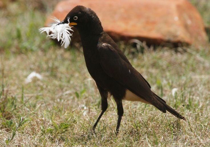 Pied Starling, Witgatspreeu, (Lamprotornis bicolor)